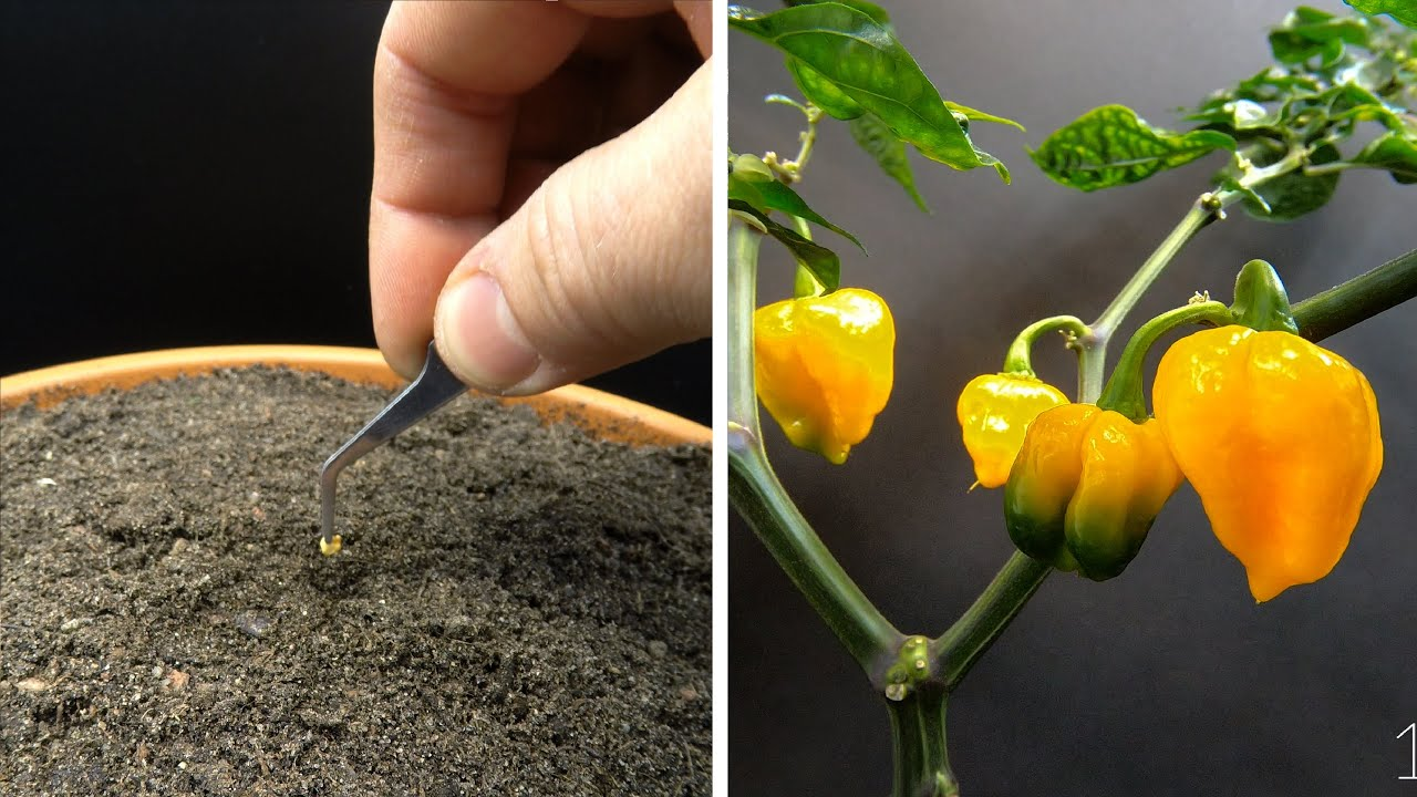 Growing Trinidad Scorpion Chili Time Lapse - Seed To Fruit In 175 Days