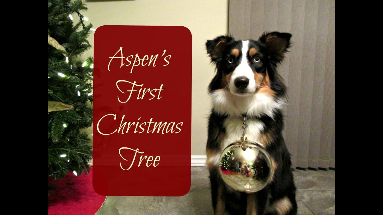 aspens first christmas tree australian shepherd animal scholar