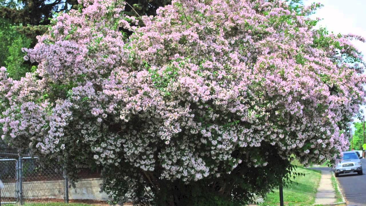 tall shrubs for shade