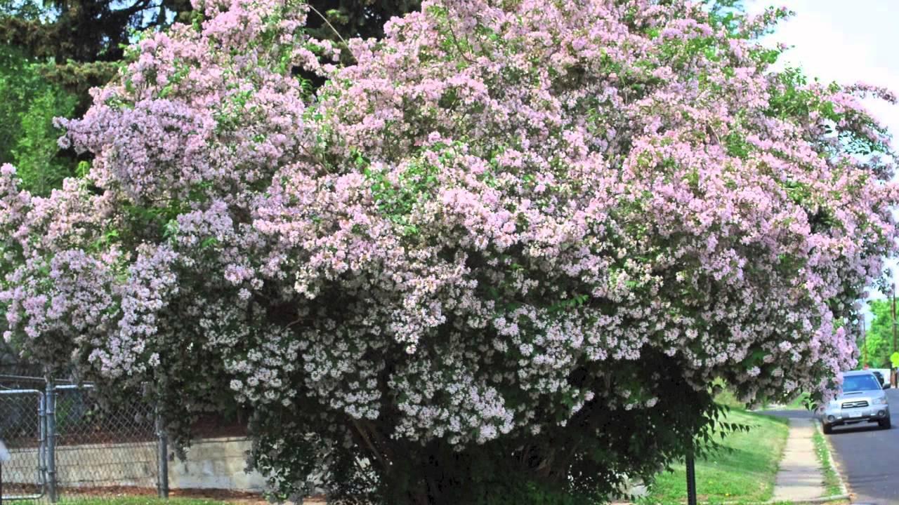 tall shrubs for shade