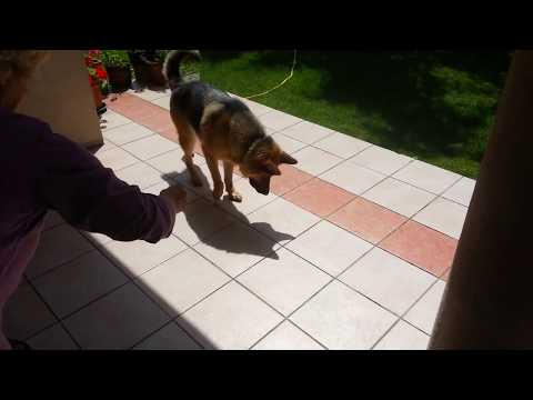 Dog thinks its shadow is alive!