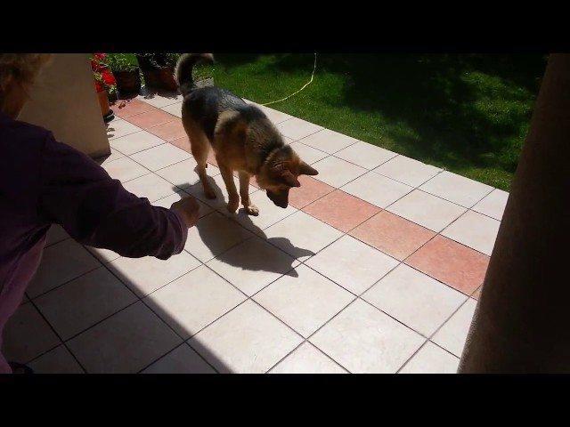 German Shepherd Dog Jumps on Shadow (Cute Funny)