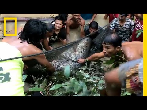 440-Pound Giant Catfish Saved by Villagers | National Geographic