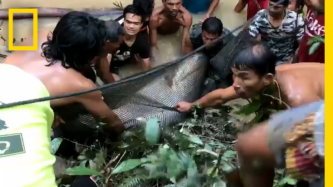 Image result for 440-Pound Giant Catfish Saved by Villagers | National Geographic