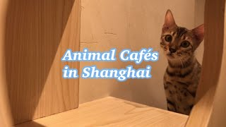 "Experiencing Animal ""Cafes"" in Shanghai thumbnail"