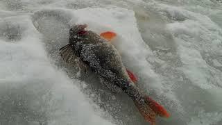 Ловим окуней на гвоздешарик леска трещит в руках и рвется Зимняя рыбалка 2021