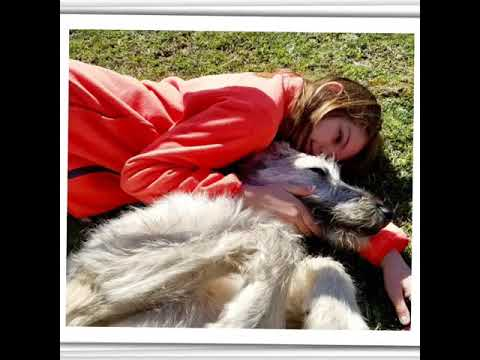 Lure Coursing Irish Wolfhounds at Purina Farms