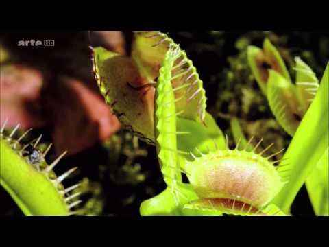 Die Tricks der Pflanzen   Tödliche Fallen   Arte Doku HD