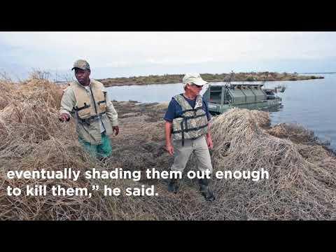 Plant smothering marsh grasses on Bayou Sauvage NWR