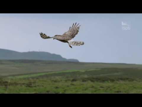 Hen Harrier Day 2017