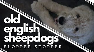 Things you should know before getting an Old English Sheepdog┃Slopper Stopper ┃Ed&Mel
