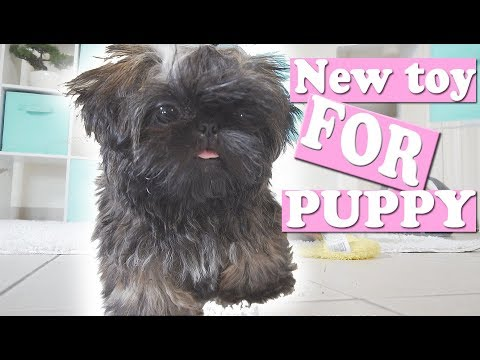 Puppy Plays His New TOY | Imperial Shih Tzu | My 200th Video