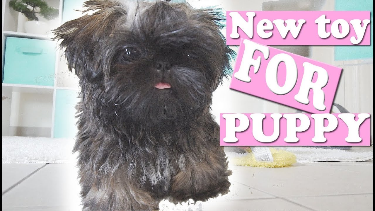 Puppy Plays His New Toy Imperial Shih Tzu My 200th Video Youtube