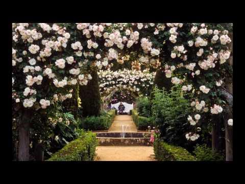 Roses ideal for pergolas (climbing rose for pergola)