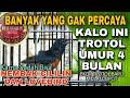 Murai Trotol Gacor Bongkar Isian Cililin Dan Lovebird Trotolan Istimewa Di Usia  Bulan  Mp3 - Mp4 Download