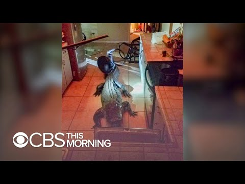Monster Gator Breaks Into Florida Home