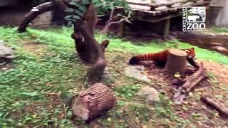Red Panda Play Time - Cincinnati Zoo