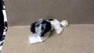 Parti Micro T-cup Poodle..^__^