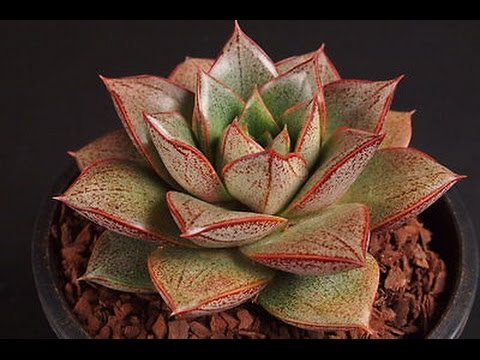 Növénybemutató 3# Echeveria Purpusorum