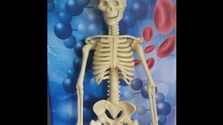 Из чего мы сделаны (часть 1) - скелет человека - детская игра