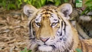 Атака тигров Часть 1