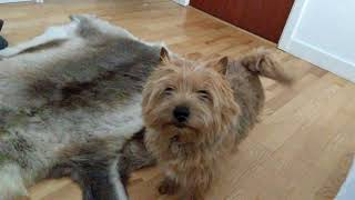My Norwich Terrier Otto finds out he is going for a walk!