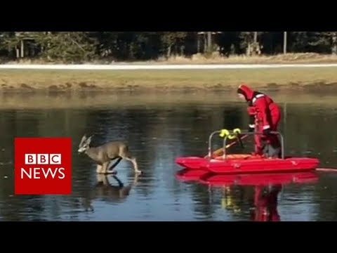 Real life 'bambi on ice' rescued from lake - BBC News