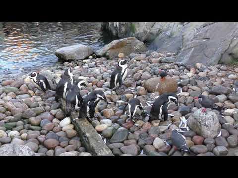 African Penguins, Bristol Zoo (18th December 2017)