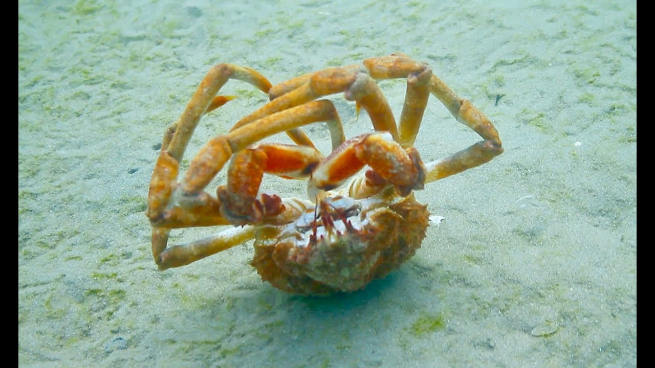 SOMEONE CALL THIS CRAB A TAXI !!! Crazy Spider Crab Backrolls 20 times!