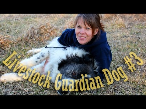 Livestock Guardian Dog Series - Obedience Training and a few Tricks