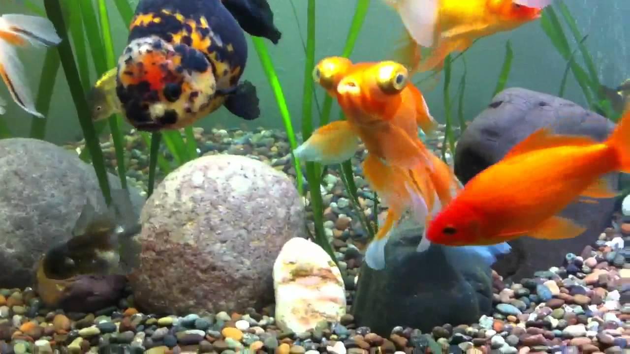 Acuario goldfish 650 litros youtube for Peces goldfish tipos