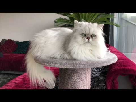 This is IvyiCat - Persian Cat