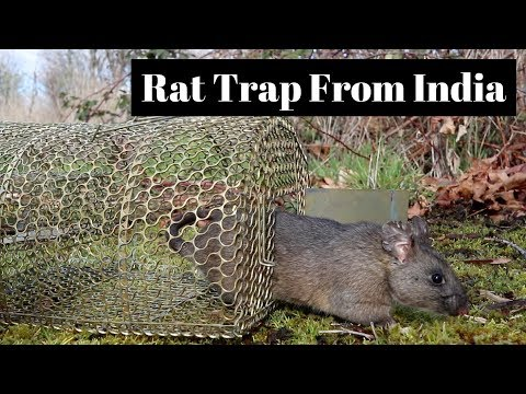 A Cage Rat Trap From India.  Catch & Release Huge Pack Rat /  Wood Rat