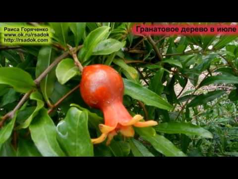 Гранатовое дерево в июле
