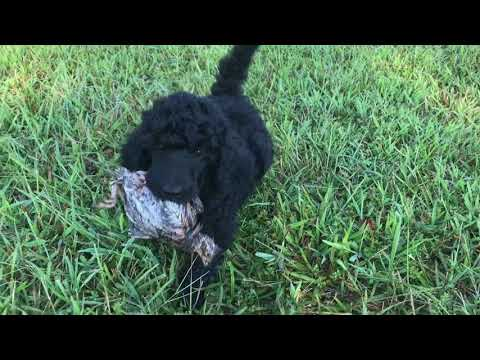 Louter Creek Hunting Poodles 6 Wk Old Pups On Quail