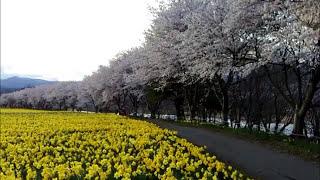 群馬県東吾妻岩井親水公園に桜と水仙を見にフュージョンサイドカーで 綺...