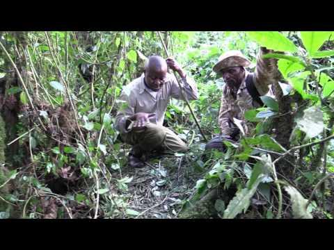 Grauer's gorilla night nest, Democratic Republic of Congo