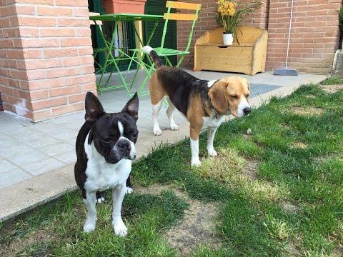 Boston Terrier VS Beagle GoPro 4 Hero