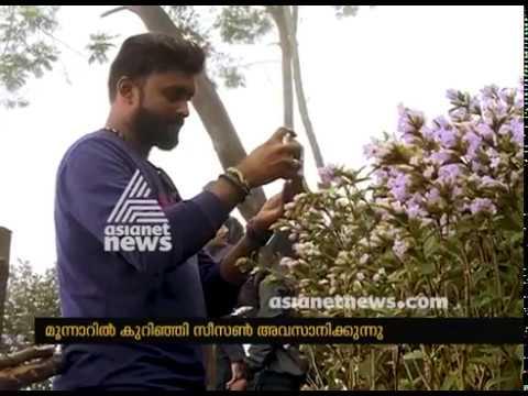 Neelakurinji Bloom : Kurinji season comes to an end at Munnar