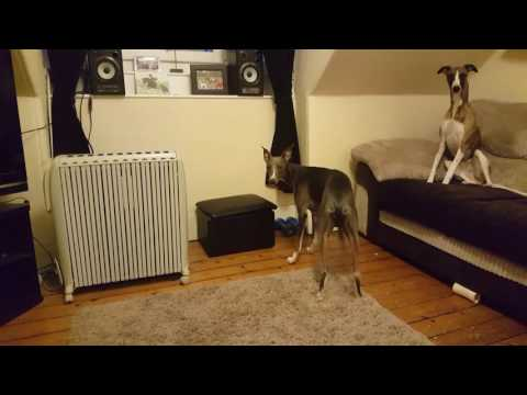 Whippet want his toys