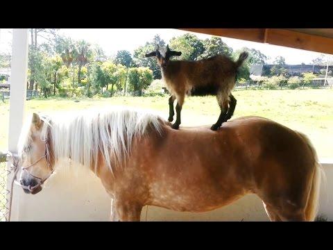 'Goats Riding Horses Compilation'    CFS