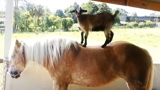 """Goats Riding Horses Compilation"" 