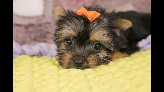 Щенок йорка / подарок ребенку / купить щенка йорка