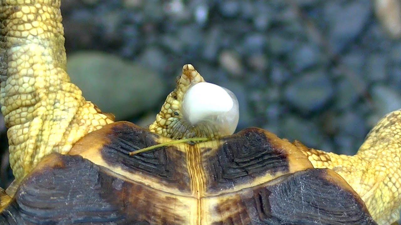 リクガメの小便 tortoise piss