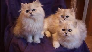 Персидские котята DSCF0480