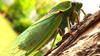 Cicada Life & Death 2 Whole Cicada Season Part 1 EDUCATIONAL VIDEO