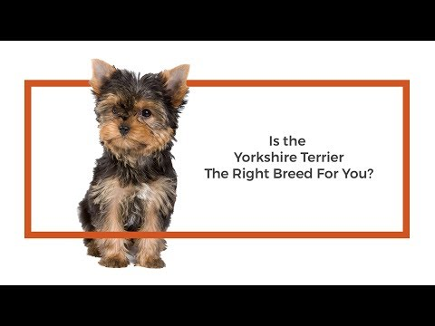 Everything you need to know about Havanese puppies! (2019)Yorkshire Terrier
