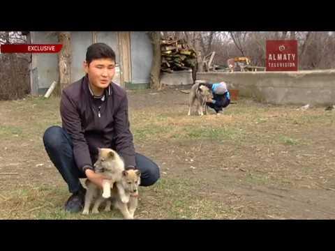 Как отличить щенка от волчонка