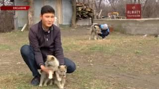 Подросток из Алматинской области вывел гибрид собаки и волка (31. 03.17)