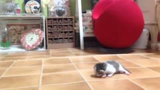 2014.10.19 誕生から5日目、 ミャーミャー鳴く子猫を順番にケージに連れ...